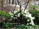 Rhododendron by Jocelia