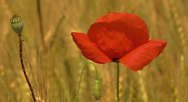 Poppy by georgiepoolie