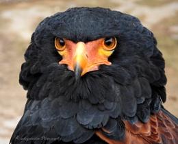 Bateleur Eagle.