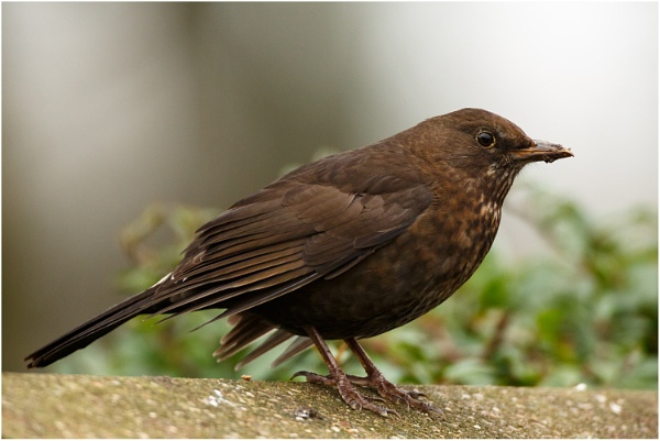 Female Blackbird by dark_lord