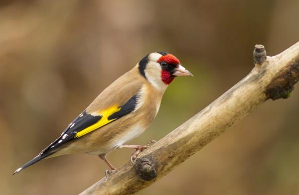Goldfinch by ali63