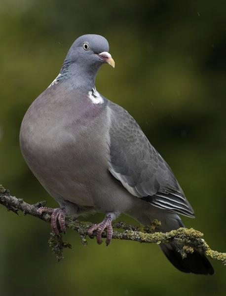 Wood Pigeon by 10delboy
