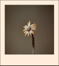 Seed Head 2 by taggart