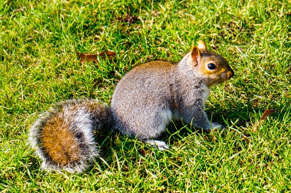Grey Squirell by richard44
