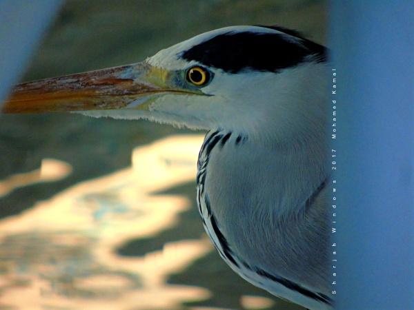 Grey Heron (Ardea cinerea) by SharjahBirds