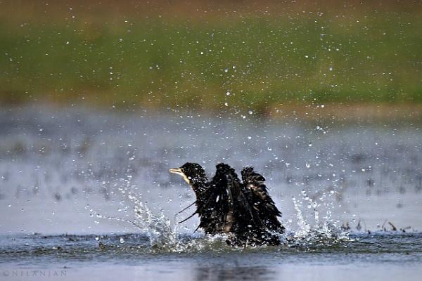 Little cormorant FUN by BUMBA