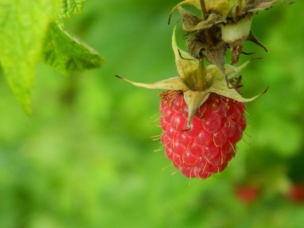 Raspberry Close-up by GrigoryAleksin