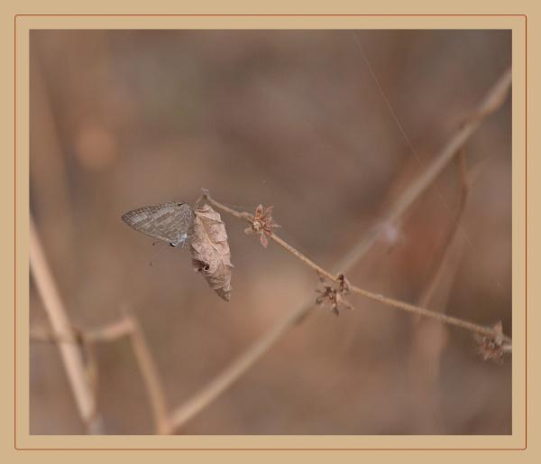 *** Bush Brown (dry season) Butterfly *** by Spkr51