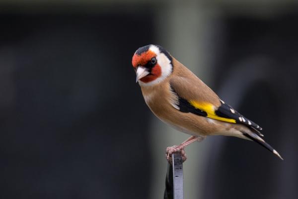 Goldfinch by kfjmiller