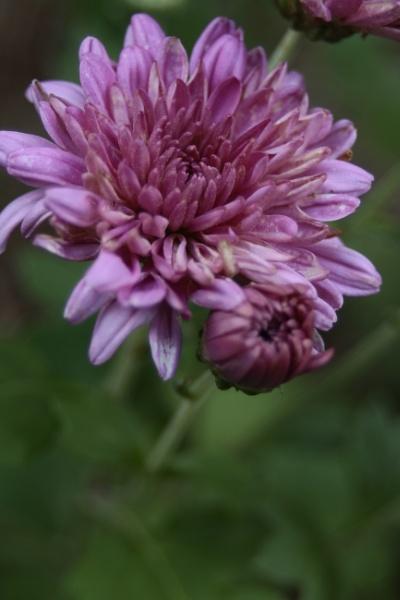 The Double Purple by ThomasVasasPhotography
