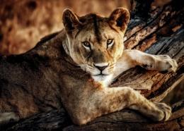 This Lion isn't sleeping tonight........