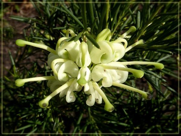 grevillea linearifolia by CarolG