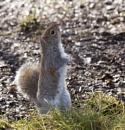 Grey Squirrel by Maiwand