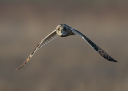 Short Eared Owls Head On