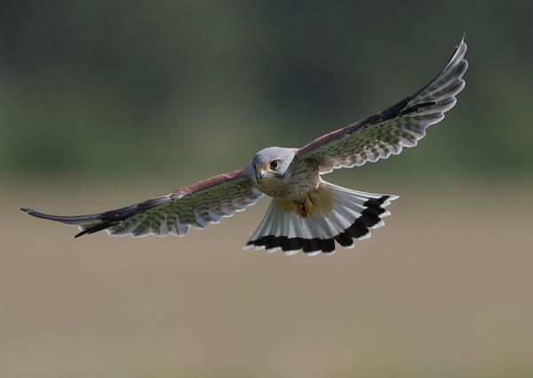 Male Kestrel in Flight by NeilSchofield