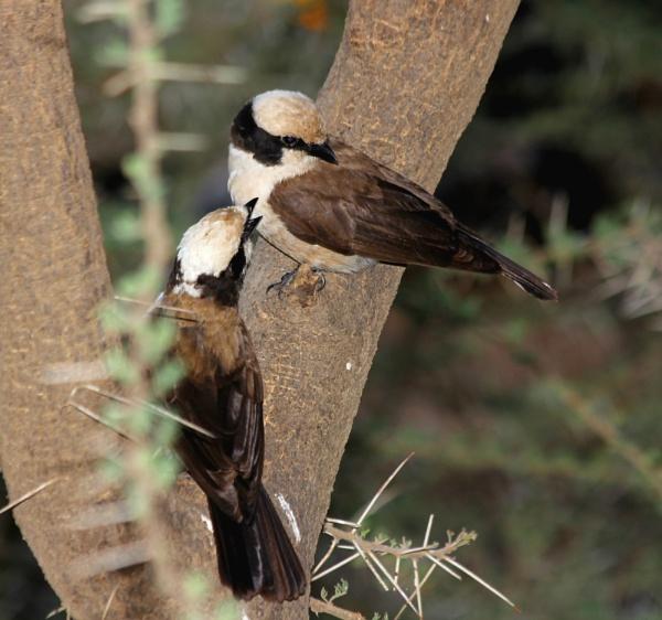 Serengeti birds by babajoshua
