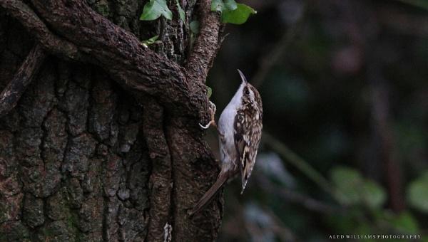 Tree-creeper............... by alfie99