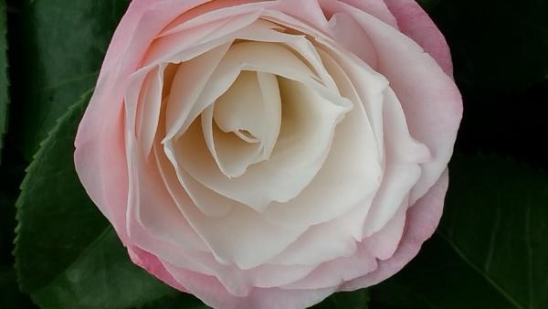 Rosa by jackitec
