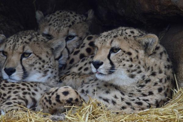 Cheetah Cubs yesterday. by peterthowe