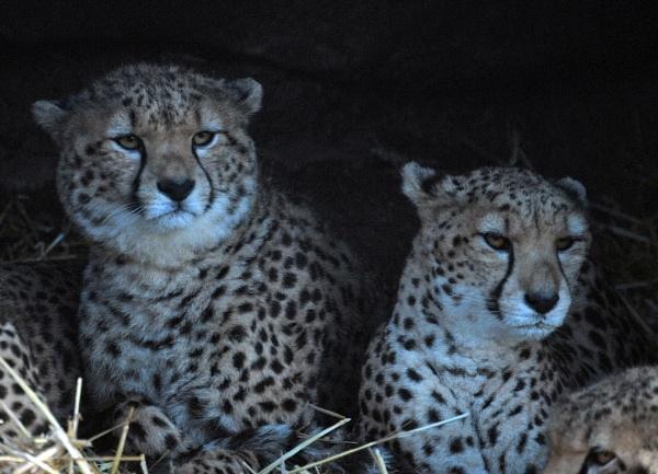 Cheetahs. by peterthowe