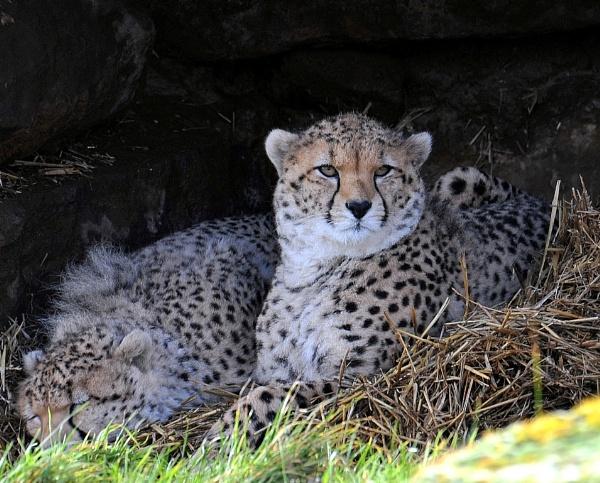 Cheetahs by peterthowe
