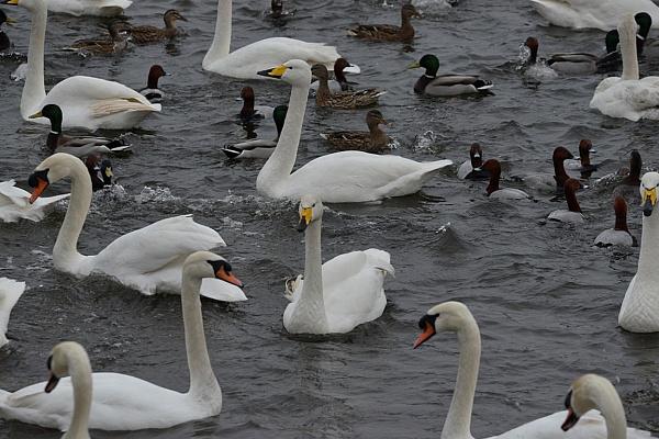 Swans \'N Ducks by peterthowe