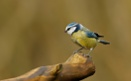 Blue Tit by J_Caswell