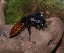 Madagascan Hissing Cockroach by jasonrwl