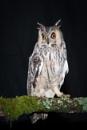Long-Eared Owl by jasonrwl