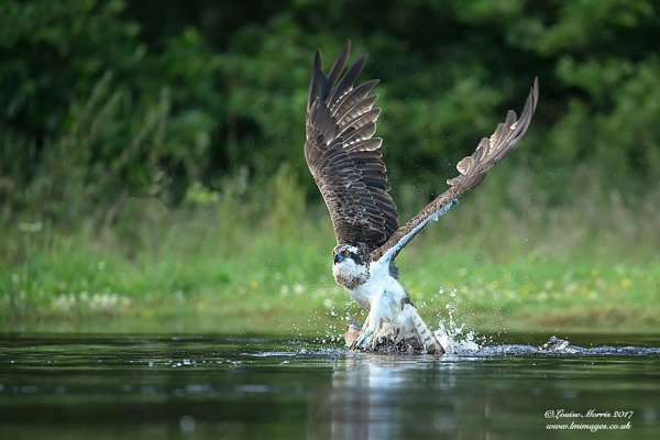 Osprey & Fish by Louise_Morris