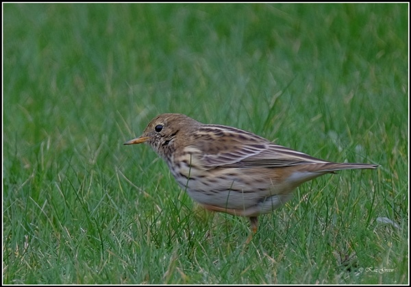Meadow Pipit by kaz1