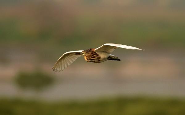 Squacco Heron by swami1969
