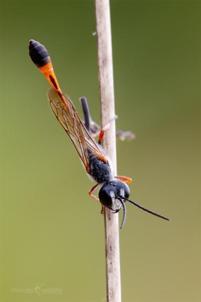 Digger Wasp - Ammophila heydeni dahlbom by Mendipman