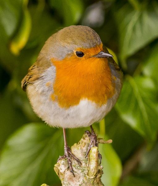 Chunky Robin by ste_p0270