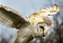 Barn Owl by titchpics