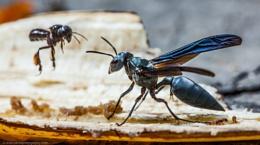 Big Wasp , Little Bee, Costa Rica