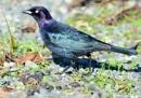 Rusty  Blackbird in  Spring Sheen by tonyguitar