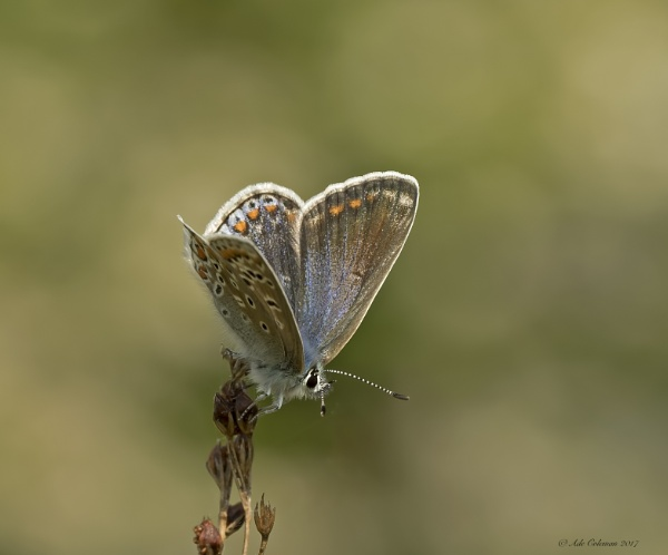 Female Common Blue by ade123