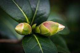 Buds - Camellia