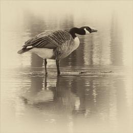 One Canada Goose