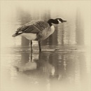 One Canada Goose by taggart