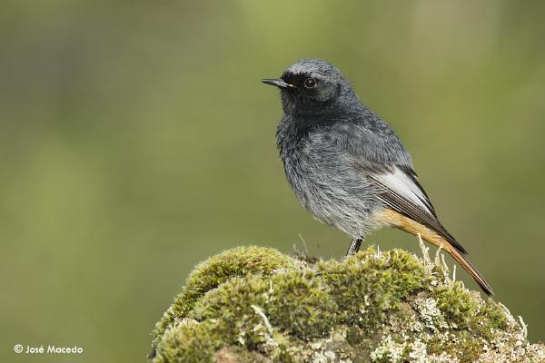 Black redstart (Phoenicurus ochruros) by lord_macedo