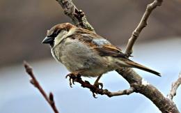 Sparrow & Longtail tit.