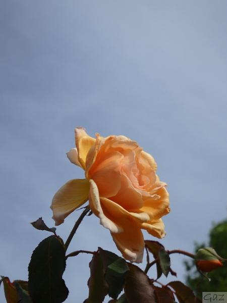 Roses by artgaz1062