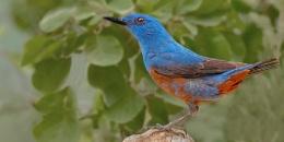 Blue Rock Thrush--Monticola solitarius