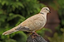 Collared Dove--Streptopelia decaocto