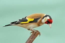 Goldfinch--Carduelis carduelis