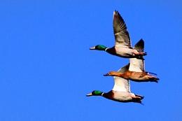 Mallard Flight--Anas platyrhynchos