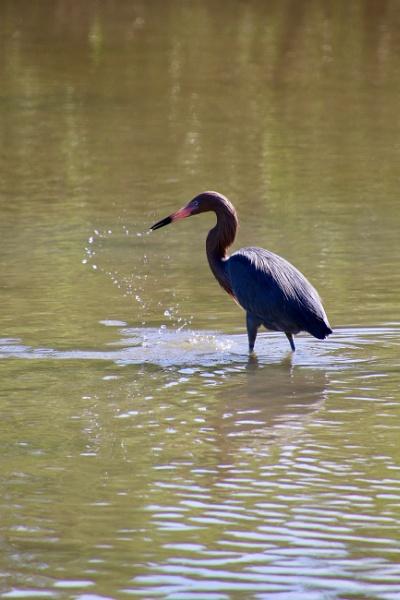 heron fishing by jocas