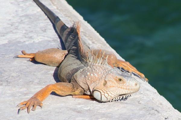 sunbathing iguana by jocas